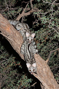 Two small spotted genets (Genetta genetta) in an acacia tree, Kgalagadi Transfrontier Park, South Africa, January 2014 - Ann  & Steve Toon