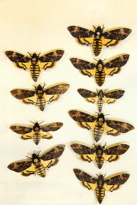 Death's head hawkmoth (Acherontia atropos) museum specimens showing variation in size, Tyne and Wear Archives and Museums  -  Ann  & Steve Toon