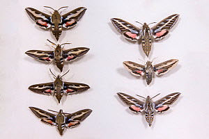 Bedstraw Hawkmoth (Hyles gallii) museum specimens showing variation in size and colouration, Tyne and Wear Archives and Museums  -  Ann  & Steve Toon