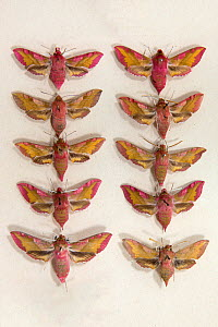 Elephant Hawkmoth (Deilephila elpenor) museum specimens showing variations in size and colouration, Tyne and Wear Archives and Museums  -  Ann  & Steve Toon