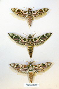 Oleander Hawkmoth / Army Green Moth (Daphnis nerii) museum specimens showing variations in size and colouration, Tyne and Wear Archives and Museums - Ann  & Steve Toon