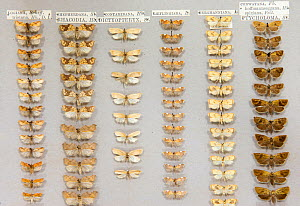 British micro moth (microlepidoptera) museum specimens, Tyne and Wear Archives and Museums - Ann  & Steve Toon