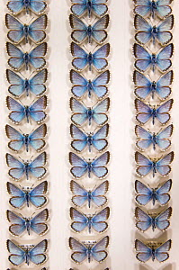 Chalkhill Blue (Polyommatus coridon) butterfly - museum specimens showing slight variations in size and colouration, Tyne and Wear Archives and Museums  -  Ann  & Steve Toon