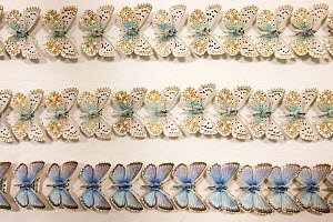 Chalkhill Blue (Polyommatus coridon) butterfly - museum specimens, dorsal and ventral view showing slight variations in size and colouration, Tyne and Wear Archives and Museums - Ann  & Steve Toon