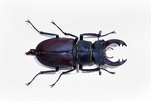 Stag beetle (Lucanus cervus) male - museum specimen, Tyne and Wear Archives and Museums - Ann  & Steve Toon
