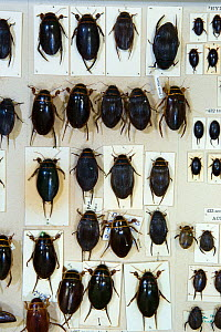 British diving beetles (Dytiscus sp.), museum specimens, Tyne and Wear Archives and Museums - Ann  & Steve Toon