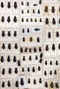 British Carabus beetles (Carabus sp) museum specimens, Tyne and Wear Archives and Museums - Ann  & Steve Toon
