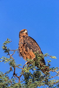 Tawny eagle (Aquila rapax) in acacia tree, Kgalagadi Transfrontier Park, South Africa, January  -  Ann  & Steve Toon