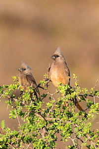 Two speckled mousebirds (Colius striatus) in acacia tree, Addo Elephant National Park, South Africa, February  -  Ann  & Steve Toon