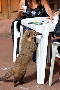 South American coati (Nasua nasua), searching for food amongst tourists. Iguazu falls, Brazil/Argentina.  -  Angelo Gandolfi