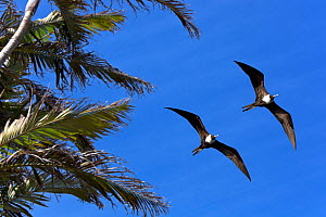 Magnificent frigatebirds (Fregata magnificens), two females in flight, Santa Catarina, Brazil, September. - Angelo Gandolfi