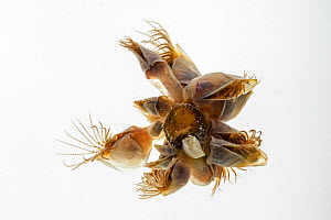 Blue goose barnacle / buoy barnacle (Dosima fascicularis) against white background, Bay of the Somme, France, May. - Philippe Clement