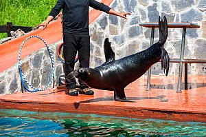 Patagonian sea lion / South American sea lion / Southern sea lion  (Otaria flavescens / Otaria byronia). performing trick, standing on one flipper, Cabarceno Natural Park,, Cantabria, Spain, May 2014.  -  Philippe Clement