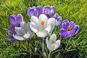 White and purple crocuses (Crocus sp) flowering in garden in spring. Belgium, March.  -  Philippe Clement