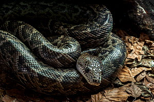 Cuban boa (Epicrates angulifer) resting. Captive, occurs in Cuba and the Bahamas. - Philippe Clement
