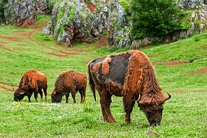 Moulting European bison / wisent (Bison bonasus) grazing, Cabarceno Park, Cantabria, Spain, May. Captive, occurs in Poland, Lithuania, Belarus, Russia, Ukraine, and Slovakia.  -  Philippe Clement