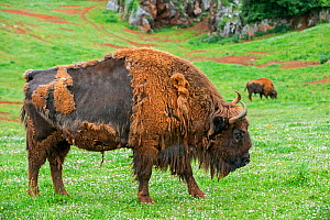 European bison / wisent (Bison bonasus) moulting, Cabarceno Park, Cantabria, Spain, May. Captive, occurs in Poland, Lithuania, Belarus, Russia, Ukraine, and Slovakia.  -  Philippe Clement