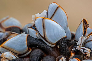 Goose barnacles (Lepas anatifera) Aquitaine, France, May. - Philippe Clement