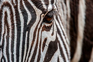 Grevy's zebra (Equus grevyi) close up of  head. Cabarceno Park, Cantabria, Spain. Captive, occurs in Kenya and Ethiopia. - Philippe Clement