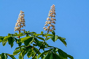 Horse-chestnut / conker tree (Aesculus hippocastanum) flowers and leaves in spring, UK, May.  -  Philippe Clement