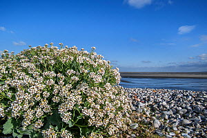 Sea kale (Crambe maritima) in flower on pebble beach, Bay of the Somme, Picardy, France.  -  Philippe Clement