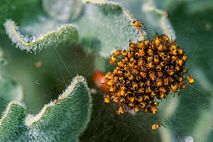 Cluster of European garden spider (Araneus diadematus) spiderlings a few days after hatching, Belgium, April. - Philippe Clement