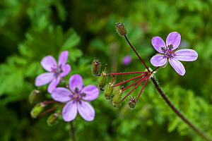 Stork's-bill (Erodium cicutarium) in flower, Belgium, April.  -  Philippe Clement