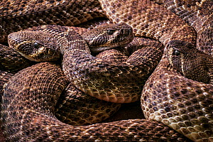 Three Western diamondback rattlesnakes (Crotalus atrox) coiled up, captive. Occurs in the United States and Mexico.  -  Philippe Clement