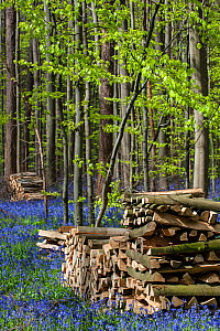Woodpiles amongst flowering Bluebells (Hyacinthoides non-scripta) in beech woodland, Hallerbos / Halle forest, Belgium, April.  -  Philippe Clement