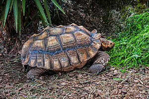 African spurred tortoise (Geochelone sulcata) Cabarceno Park, Cantabria, Spain. Captive, occurs in the Sahara desert, northern Africa.  -  Philippe Clement