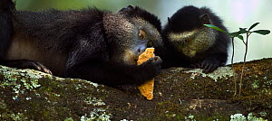 Stulmann's blue monkey (Cercopithecus mitis stuhlmanni) female 'Kipper' holding a piece of concrete (licked for its salts and minerals) watched by her baby aged 9-12 months 'Krill'. Kakamega Forest So...  -  Anup Shah