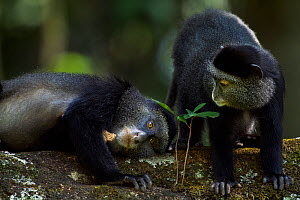 Stulmann's blue monkey (Cercopithecus mitis stuhlmanni) baby aged 9-12 months 'Krill' with mother 'Kipper' holding concrete (licked for the salts and minerals). Kakamega Forest South, Western Province...  -  Anup Shah
