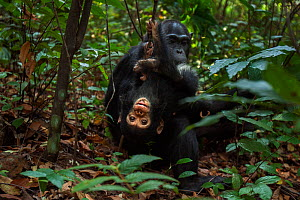 Eastern chimpanzee (Pan troglodytes schweinfurtheii) female 'Fanni' aged 30 years sitting with her playful baby son 'Fifty' aged 9 months. Gombe National Park, Tanzania.  -  Anup Shah