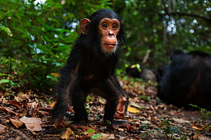 Eastern chimpanzee (Pan troglodytes schweinfurtheii) male infant 'Google' aged 2 years approaching with curiosity - wide angle perspective. Gombe National Park, Tanzania. - Anup Shah