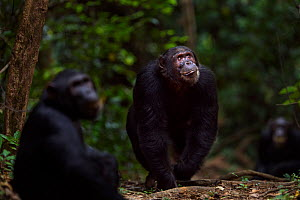 Eastern chimpanzee (Pan troglodytes schweinfurtheii) male 'Titan' aged 17 years walking aggressively along a trail looking at others in a tree while adolescent male 'Fudge' aged 14 years sits in the f...  -  Anup Shah