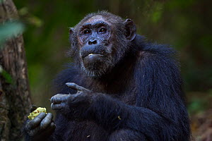 Eastern chimpanzee (Pan troglodytes schweinfurtheii) female 'Gremlin' aged 40 years feeding on Mbula fruit. Gombe National Park, Tanzania.  -  Anup Shah