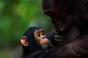 Eastern chimpanzee (Pan troglodytes schweinfurtheii) infant male 'Google aged 2 years watching his mother 'Gaia' aged 18 years self grooming. Gombe National Park, Tanzania. - Anup Shah