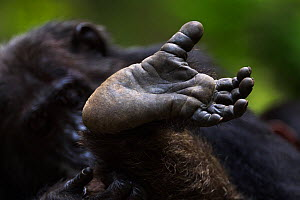 Eastern chimpanzee (Pan troglodytes schweinfurtheii) male 'Frodo' aged 35 years close-up of foot. Gombe National Park, Tanzania.  -  Anup Shah