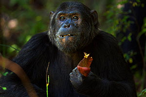 Eastern chimpanzee (Pan troglodytes schweinfurtheii) alpha male 'Ferdinand' aged 19 years feeding on seed pods - head and shoulders portrait. Gombe National Park, Tanzania.  -  Anup Shah