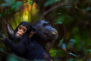 Eastern chimpanzee (Pan troglodytes schweinfurtheii) female 'Fanni' aged 30 years feeding fruit with her baby son 'Fifty' aged 9 months. Gombe National Park, Tanzania.  -  Anup Shah