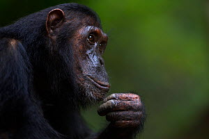 Eastern chimpanzee (Pan troglodytes schweinfurtheii) adolescent female 'Glitter' aged 13 years head and shoulders portrait. Gombe National Park, Tanzania.  -  Anup Shah