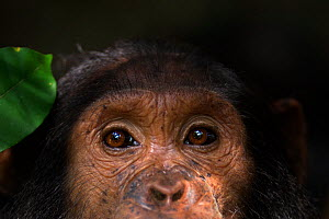 Eastern chimpanzee (Pan troglodytes schweinfurtheii) adolesscent male 'Tarzan' aged 11 years close-up of eyes. Gombe National Park, Tanzania.  -  Anup Shah