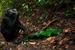 Eastern chimpanzee (Pan troglodytes schweinfurtheii) male 'Pax' aged 33 years sitting on a forest trail. Gombe National Park, Tanzania. - Anup Shah