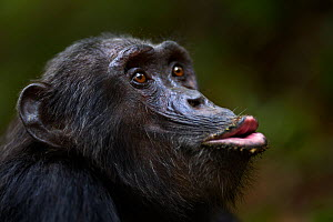 Eastern chimpanzee (Pan troglodytes schweinfurtheii) male 'Pax' aged 33 years calling - head portrait. Gombe National Park, Tanzania.  -  Anup Shah