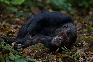 Eastern chimpanzee (Pan troglodytes schweinfurtheii) male 'Faustino' aged 22 years resting on a fallen branch. Gombe National Park, Tanzania.  -  Anup Shah