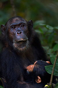 Eastern chimpanzee (Pan troglodytes schweinfurtheii) female 'Gaia' aged 18 years with her suckling son 'Google' aged 2 years. Gombe National Park, Tanzania. - Anup Shah