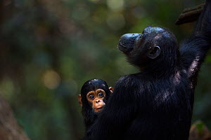 Eastern chimpanzee (Pan troglodytes schweinfurtheii) female 'Fanni' aged 30 years with her baby son 'Fifty' aged 9 months. Gombe National Park, Tanzania. - Anup Shah