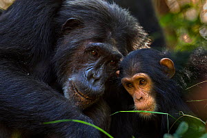 Eastern chimpanzee (Pan troglodytes schweinfurtheii) infant female 'Safi' aged 2 years with female 'Nasa' aged 23 years. Gombe National Park, Tanzania. - Anup Shah