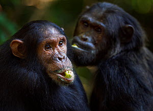 Eastern chimpanzee (Pan troglodytes schweinfurtheii) adolescent male 'Tarzan' aged 11 years sitting with alpha male 'Ferdinand' aged 19 years. Gombe National Park, Tanzania.  -  Anup Shah