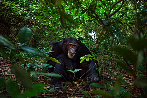 Eastern chimpanzee (Pan troglodytes schweinfurtheii) male 'Freud' aged 40 years sitting on the forest floor feeding on Mbula fruit. Gombe National Park, Tanzania.  -  Anup Shah